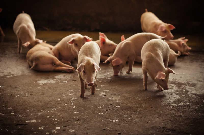 第22周生猪及猪肉价格同比环比双降